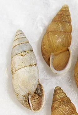 E. montana. Фотография 10