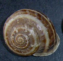 E. vermiculata. Фотография 16