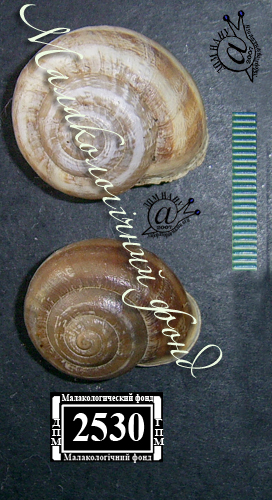 Eobania vermiculata. Фотография 19