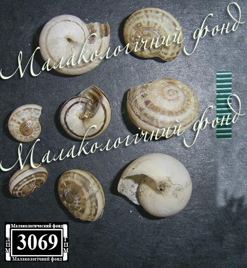 Eobania vermiculata. Фотография 23