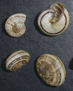 E. vermiculata. Фотография 24