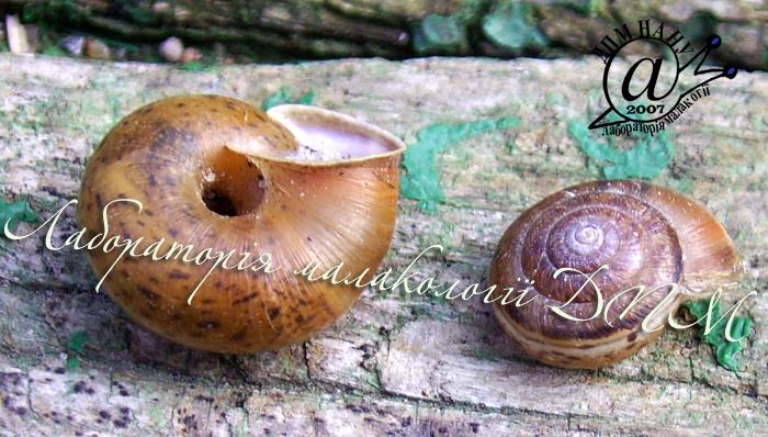 Euomphalia strigella. Фотография 12