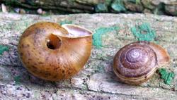 E. strigella. Фотография 13