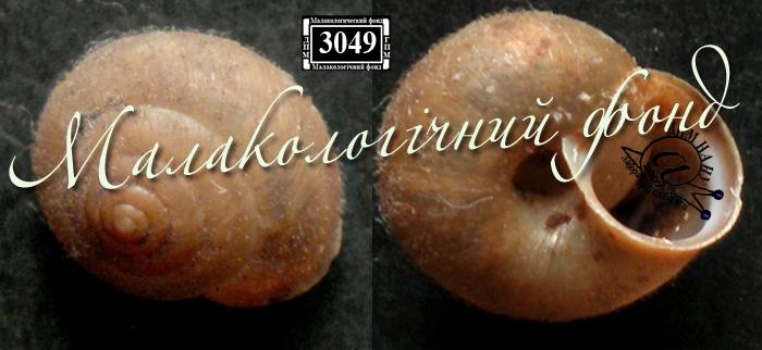 Euomphalia strigella. Фотография 14