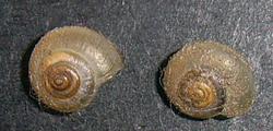 E. strigella. Фотография 29