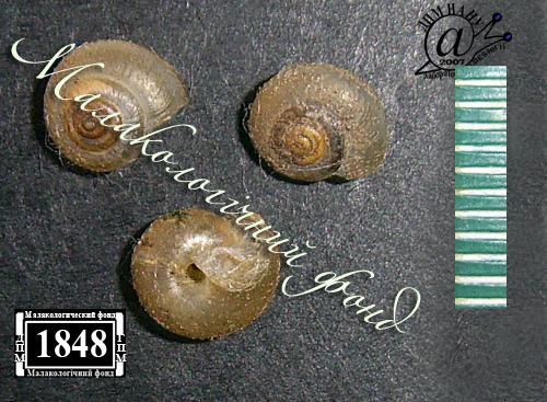 Euomphalia strigella. Фотография 28