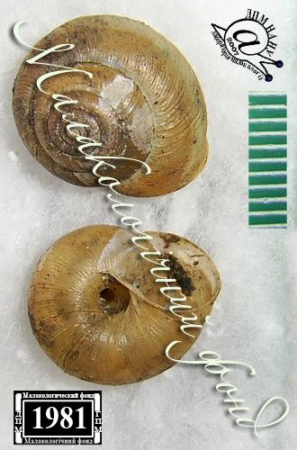Euomphalia strigella. Фотография 30