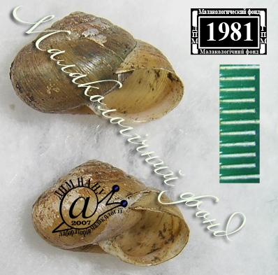 Euomphalia strigella. Фотография 32