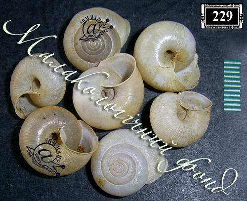 Euomphalia strigella. Фотография 26