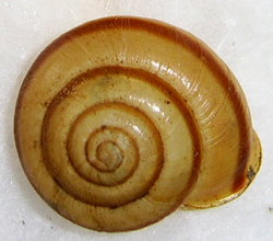 F. faustina. Фотография 23