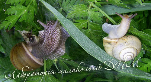 Fruticicola fruticum. Фотография 37