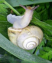 F. fruticum. Фотография 38