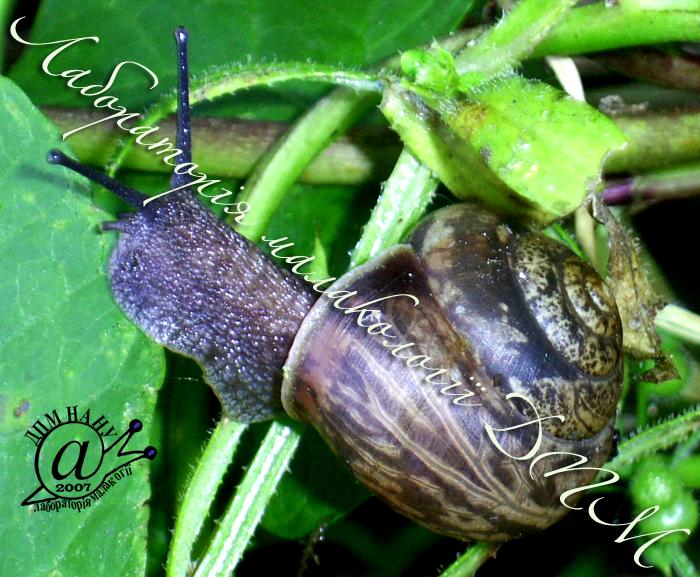 Fruticicola fruticum. Фотография 19