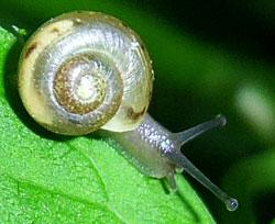 равлик чагарниковий (звичайний) - Fruticicola fruticum