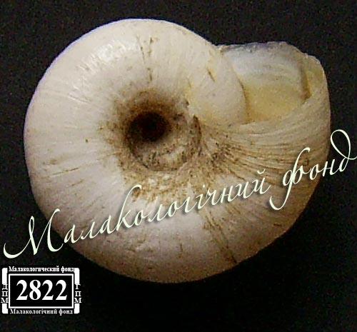 Helicopsis luganica. Фотография 27