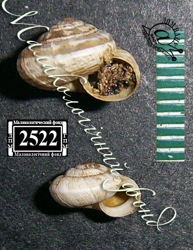 Helicopsis retowskii. Фотография 13
