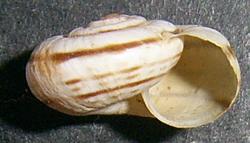 H. retowskii. Фотография 26