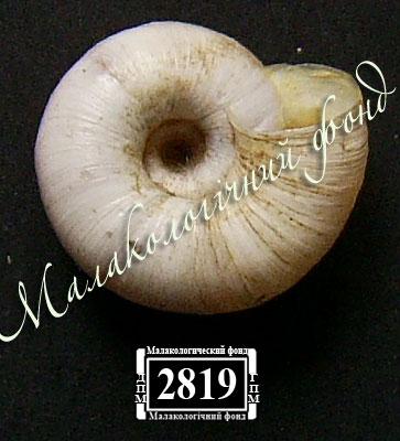 Helicopsis subfilimargo. Фотография 13