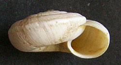 Helicopsis subfilimargo Gural-Sverlova, 2010