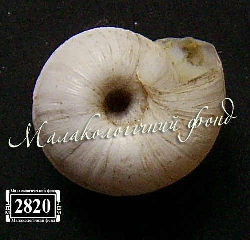 Helicopsis subfilimargo. Фотография 21