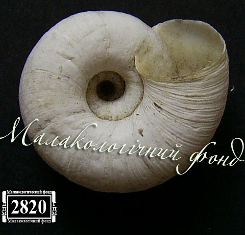 Helicopsis subfilimargo. Фотография 27