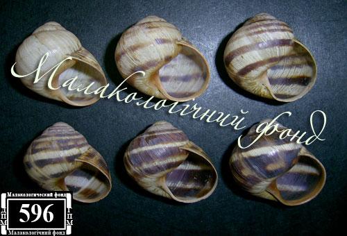 Helix albescens. Фотография 22