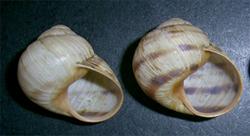 H. albescens. Фотография 23
