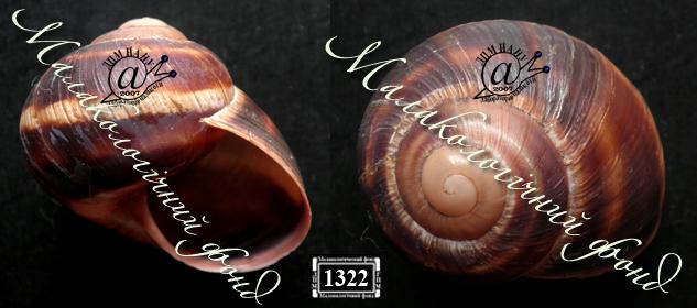 Helix albescens. Фотография 12