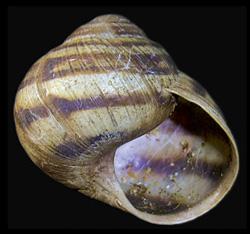Моллюск октября среди наземных моллюсков -  Helix albescens (2019 г.)