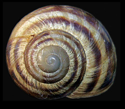 Молюск березня серед наземних молюсків - Helix albescens (2017р.)