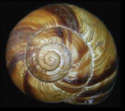 H. lucorum. Фотография 12