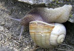 H. lutescens. Фотография 36