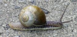 H. lutescens. Фотография 22
