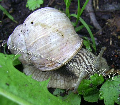 Helix pomatia. Фотография 127