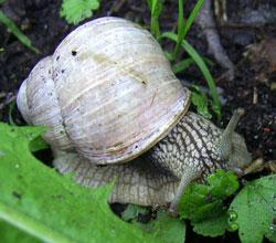 H. pomatia. Фотография 128