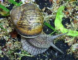 H. pomatia. Фотография 130