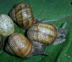 равлик (великий) виноградний - Helix pomatia