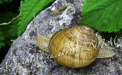 Helix pomatia. Фотография 133