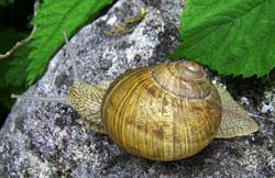 Моллюск февраля среди наземных моллюсков - Helix pomatia (2019р.)