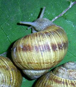 H. pomatia. Фотография 136