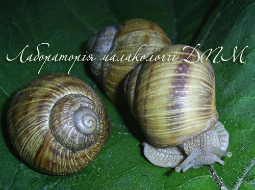 Helix pomatia. Фотография 137