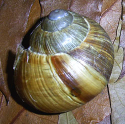 H. pomatia. Фотография 140