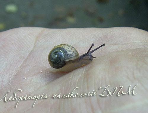 Helix pomatia. Фотография 141