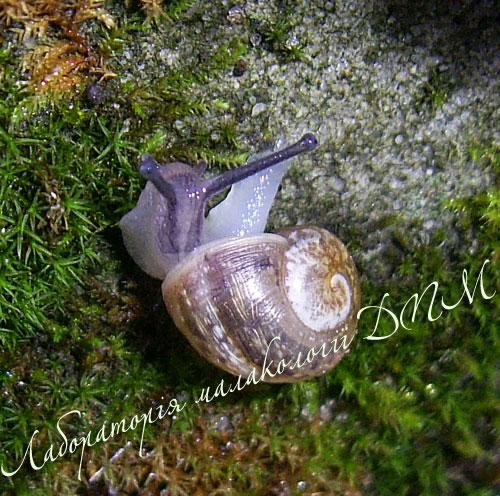 Helix pomatia. Фотография 147
