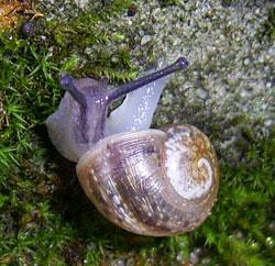 H. pomatia. Фотография 148