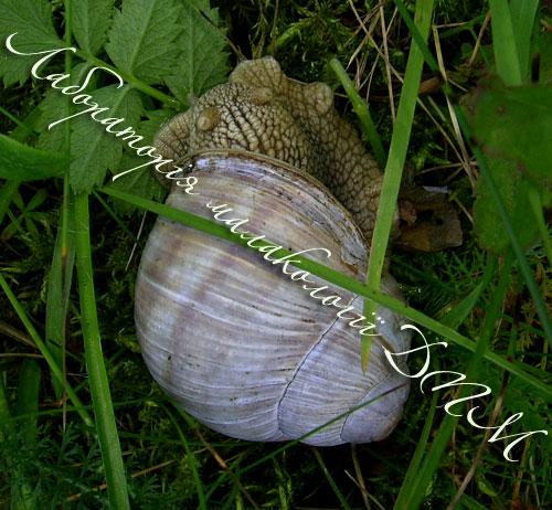 Helix pomatia. Фотография 154