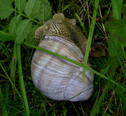 H. pomatia. Фотография 155