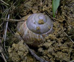 H. pomatia. Фотография 157
