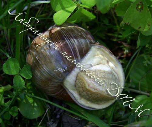 Helix pomatia. Фотография 164
