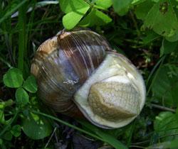 Helix pomatia. Фотография 165